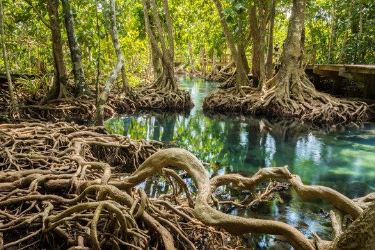 root in swamp forest , tha pom krabi,thailand