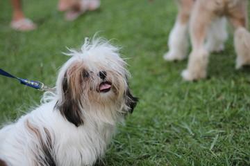 funny dog in grass field public park, Shih Tzu