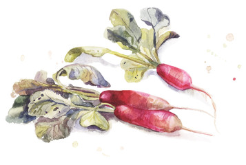 Watercolor garden elongate radishes with leaves isolated on white backgrownd. Hand-drawn botanical illustration.