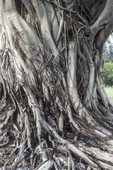 Bodhi tree / The image of trunk and bark of Bodhi tree,