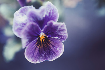 Close-up of a purple pansy flower