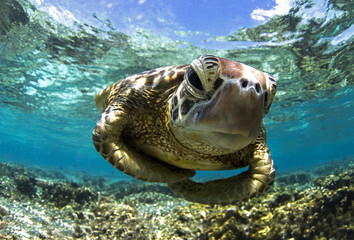 Close up of sea turtle swimming underwater