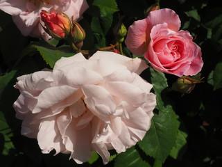 blühende Rose im Sonnenschein