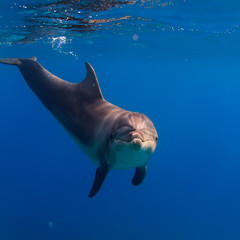 A dolphin underwater in natural habitat close the water surface