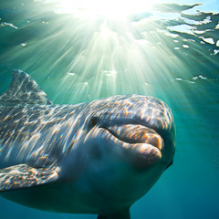 Wall Mural - A dolphin underwater with sunbeams. Closeup portrait