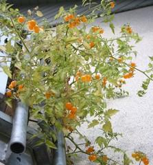 Tomatenzucht am Balkon