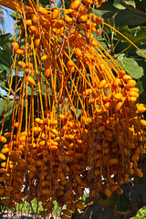 a lot of dates on date palm