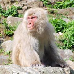 険しい表情で周囲を見張る猿 (ニホンザル)
