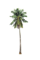 coconut palm tree on isolated