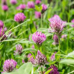 clover / Meadow with blooming red clover