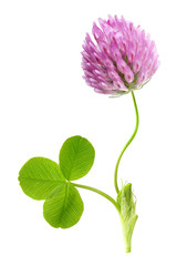 Green clover leaf and flower isolated
