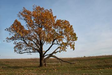 Одинокий дуб на поляне