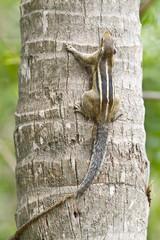 Indian palm squirrel in Minneriya, Sri Lanka