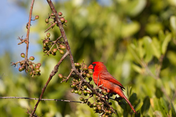 Male Northern Cardinal eyes a berry in Florida