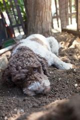 Lagotto Romagnolo dog enjoying after digging