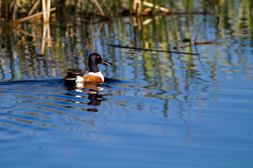 Northern Shoveler swims in the blue water of a marsh, with reflections