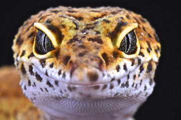 Wall Mural - Leopard gecko (Eublepharis macularias)