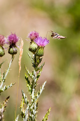 White-lined Sphinx Moth nectars on a purple-flowered thistle