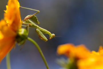 Immature Praying Mantis hangs upside down on a yellow Coreopsis flower