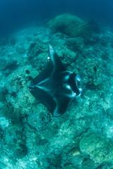 Manta Ray Swimming Over Pinnacle