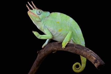Usumbara giant three horned chameleon (Trioceros deremensis)