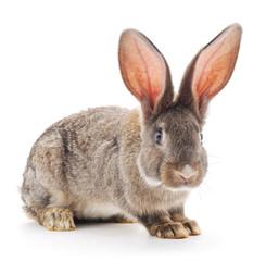 Brown rabbit.