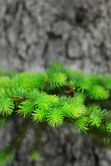 Green Growth Pine Tree Limb and Trunk