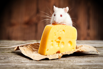 Fotoväggar - Pet rat with a large piece of cheese