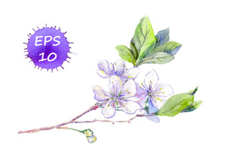 Bloom cherry flower (sakura) - blossom. Spring watercolor vector