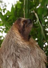 Three-toed sloth head profile in the jungle