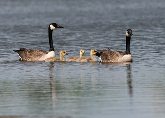 Pair of Canada Geese Swimming with Goslings