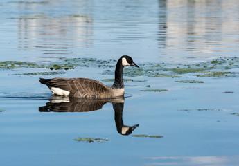 Canada Goose Swimming