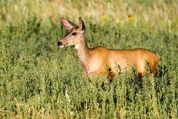 Female Mule Deer in a field of tall grasses