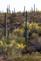Giant Saguaro cacti and Palo Duro trees in spring bloom at Organ Pipe Cactus National Monument