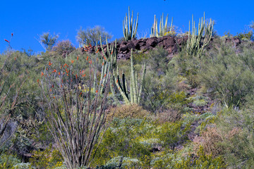 A hillside filled with cacti at Organ Pipe Cactus National Monument