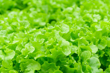 Fresh green lettuce plant organic salad vegetables.