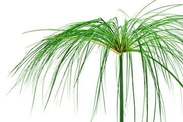 Egyptian papyrus. (Cyperus papyrus L.)