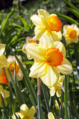 Daffodils / Two yellow narcissus in the garden Moscow