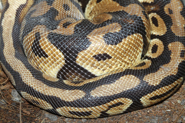 Ball python snake skin