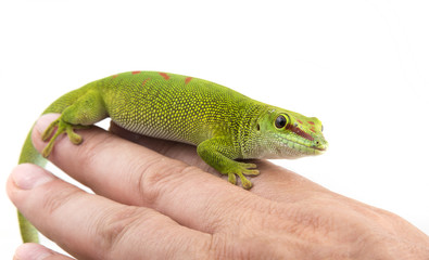 Wall Mural - Phelsuma madagascariensis - gecko on a hand