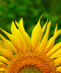 Fototapete -  sunflower
