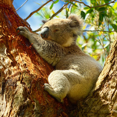 Koalas along Great Ocean Road, Victoria, Australia