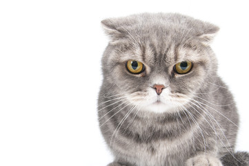 Portrait of a gloomy cat. Breed Scottish Fold..