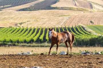 Brown Stallion in Sicily with vineyard on the background. Warm natural light.