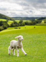 Cute lamb in meadow in wales or Yorkshire Dales