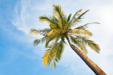 Coconut tree in front of the blue sky