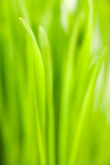 Wheatgrass background with selective focus.