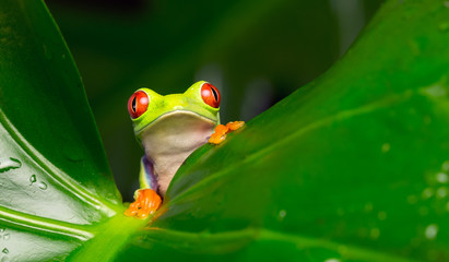 Hello! red eyed tree frog on a leaf looking at the camera