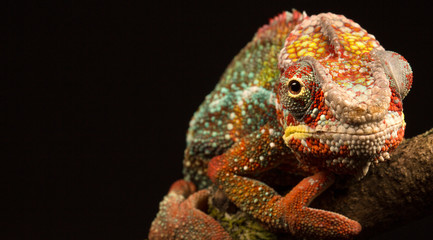 Wall Mural - Blue Bar chameleon isolated on a black background.