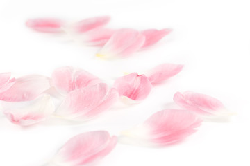 Delicate Tulip Petals on white background as floral design element.